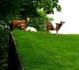 Уникална хотелска атракция - кози на покрива